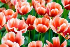 Piękni czerwoni tulipanów kwiaty zdjęcia stock