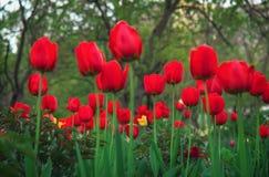 Piękni czerwoni tulipany w wiosna czasie na ulicie Obraz Royalty Free