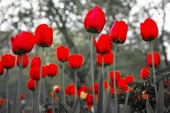 Piękni czerwoni tulipany w wiosna czasie na ulicie Fotografia Royalty Free