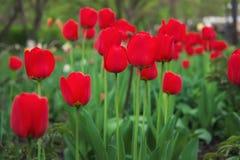 Piękni czerwoni tulipany w wiosna czasie na ulicie Obrazy Royalty Free