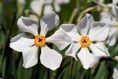 Piękni Daffodils Obrazy Stock