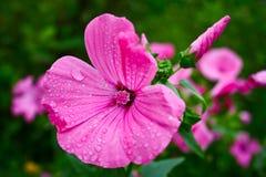 Piękni, delikatni kwiaty Lavater, Zdjęcie Stock
