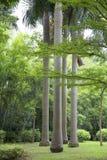 Piękni drzewka palmowe w parku Fotografia Royalty Free