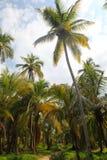 Piękni drzewka palmowe w Tayrona naturalnym kurorcie Zdjęcie Stock