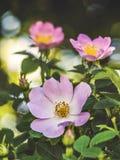 Piękni dzicy biali kwiaty Obrazy Royalty Free