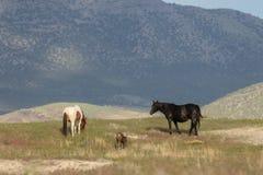 Piękni Dzicy konie w lecie Obrazy Stock