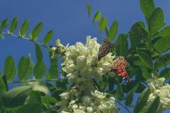 Pi?kni dzienni motyle zbieraj? nektar od drzewnych kwiat?w i pij? Aglais urticae przeciw niebieskiemu niebu Ziele? li?cie i fotografia stock