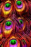 Piękni egzotyczni pawi piórka Fotografia Royalty Free