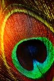 Piękni egzotyczni pawi piórka piórka Obrazy Stock