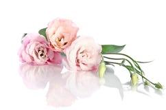 Piękni eustoma kwiaty Zdjęcia Stock