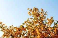Piękni i jaskrawi jesienni drzewa Zdjęcie Stock