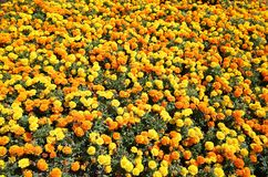 Piękni i rozochoceni nagietków kwiaty Obraz Stock