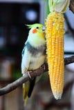 Piękni I wskazówka Lovebirds Obrazy Stock