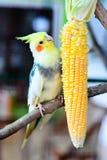 Piękni I wskazówka Lovebirds Zdjęcie Royalty Free