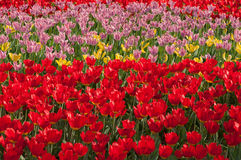Piękni jaskrawi kwiatów tulipany Obrazy Royalty Free