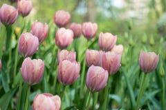 Pi?kni jasnor??owi tulipany kwitnie w wiosna parku zdjęcia royalty free