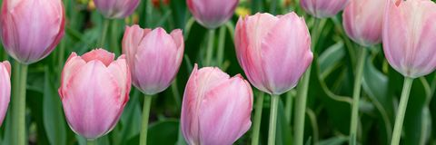 Pi?kni jasnor??owi tulipany kwitnie w wiosna parku fotografia royalty free