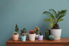 Piękni kaktusy w flowerpots na stole Obraz Royalty Free