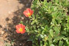 Piękni kolorowi kwiaty, Portulaca oleraceae Zdjęcia Royalty Free