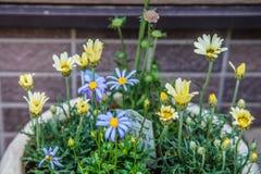 Piękni kolorowi kwiaty w garnku przy Japonia Zdjęcie Royalty Free