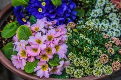 Piękni kolorowi kwiaty w garnku przy Japonia Zdjęcia Royalty Free