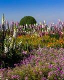 Piękni kolorowi kwiaty w ogródzie Obrazy Royalty Free
