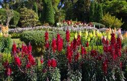 Piękni kolorowi kwiaty w ogródzie Obraz Royalty Free