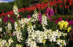 Piękni kolorowi kwiaty w ogródzie Zdjęcia Royalty Free