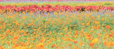 Piękni kolorowi kwiaty w polu Obrazy Stock