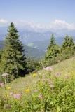 Piękni kolorowi kwiaty wysocy w slovenian górach Obrazy Royalty Free