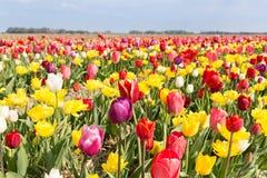 Piękni kolorowi tulipany przeciw niebieskiemu niebu z chmurami Zdjęcia Stock