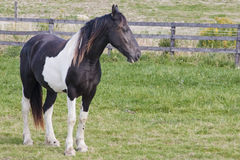 piękni konie Fotografia Royalty Free
