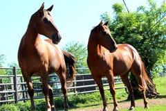 Piękni konie patrzeje ten sam kierunek fotografia royalty free