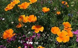 Piękni kwiatów pola Zdjęcie Royalty Free