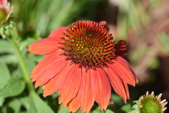 Piękni kwiaty czerwoni Obrazy Royalty Free