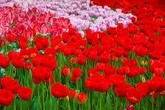 Piękni kwiaty, czerwoni kwiaty, czerwoni tulipany Zdjęcie Royalty Free
