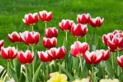 Piękni kwiaty, czerwoni kwiaty, czerwoni tulipany Obraz Royalty Free