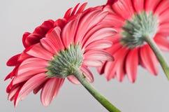 Piękni kwiaty Gerbera stokrotka Fotografia Royalty Free