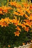 Piękni kwiaty lelui przewaga Zdjęcia Stock