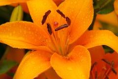 Piękni kwiaty lelui przewaga Zdjęcie Royalty Free