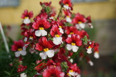 PIĘKNI kwiaty MIRABILIS Obraz Royalty Free