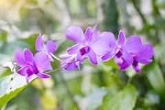 Piękni kwiaty Purpurowe orchidee zdjęcie stock