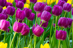 Piękni kwiaty, purpurowi kwiaty, purpurowi tulipany Zdjęcia Stock