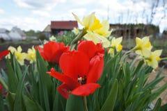 Piękni kwiaty: tulipany, narcyza kwiat fotografia Obrazy Royalty Free