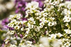 Piękni kwiaty w ogródzie Zdjęcia Stock