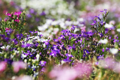 Piękni kwiaty w ogródzie Zdjęcie Royalty Free