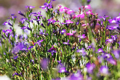 Piękni kwiaty w ogródzie Fotografia Royalty Free