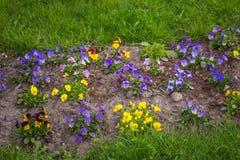 Piękni kwitnie pansy kwiaty Obrazy Royalty Free