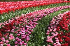piękni kwitnienia ogródu wiosna tulipany Zdjęcie Stock