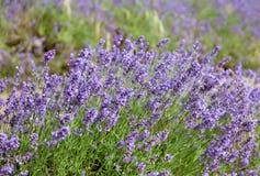 Piękni lawend pola w bydle Fotografia Stock